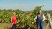 плантаже винограда