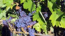 прокупац - Казимиров виноград